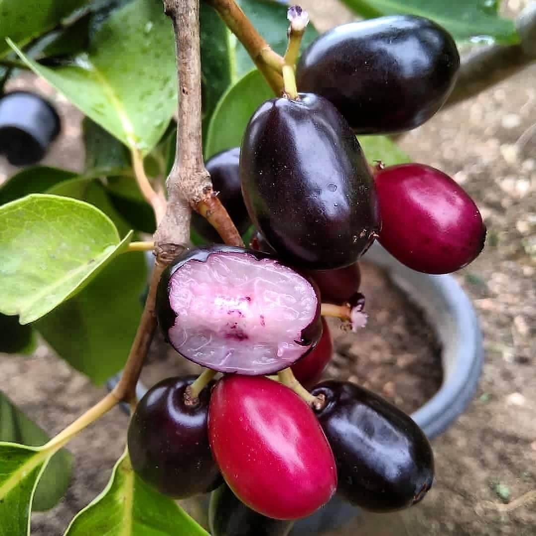 buah duwet jamblang majalengka